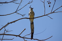 Urraca (Blue-Tailed Magpie), Charco Verde Reserve, Island of Ometepe, Nicaragua (ARNAUD_Z_VOYAGE) Tags: blue sky cloud sun mountain lake color verde beach colors clouds america landscape island monkey volcano words site amazing republic view centro central bat reserve concepcin huge monkeys nicaragua volcanoes ome region domingo isla department santo bats rivas ometepe centrale volcan maderas howler charco nahuatl isthmus tepetl