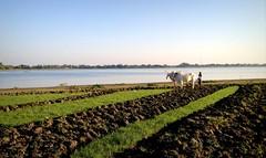 Farming in Myanmar (PeterCH51) Tags: lake water field bullock burma farming ox myanmar farmer agriculture oxen plough mandalay iphone ploughing bullocks amarapura ubeinbridge oxplough earthasia peterch51 oxenploughing oxploughing
