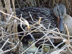 Duck 017