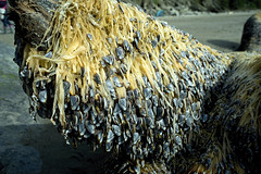Muscle Mop (Kayaker Bill) Tags: oregon pacificocean pacificnorthwest lowtide oswaldweststatepark shortsandsbeach sonya7r nikon28mmaislens