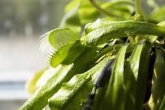 Thirsty Flytrap (tiki.thing) Tags: plant green water venusflytrap waterdroplet