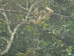 Gibbon in Cuq Phoung