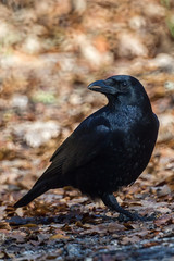 IMG_5302.jpg (Kico Lopez) Tags: birds rio spain aves galicia handheld lugo mio corvuscorax 500mmf8 3m5a cuervogrande