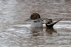 Male Pintail Duck Swims on the River
