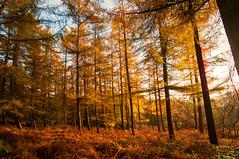 Golden forest (Geert Theunissen) Tags: nature forest gold natuur larch bos hel mook limburg natuurmonumenten goud lariks plasmolen milsbeek jansberg helkuil