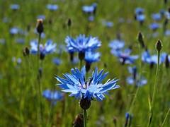 Cornflower, 2 (Axiraa - back very soon) Tags: summer flower flora estonia cornflower bluebottle bachelorsbutton centaureacyanus jõgevamaa boutonniereflower vanagram raigastvere cyani