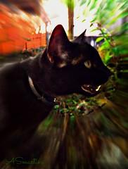 Gato preto (#molio) Tags: preto gato felino ribbet dentes