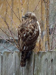 A Hawk pauses on our backyard fence / Explored! (steveartist) Tags: snow birds hawks explored stevefrenkel sonydigitalcameras sonydscrx100