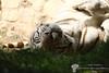 IMG_1460.jpg (Tom's Fotokisten Archiv 2012-2013) Tags: utrecht whitetiger rhenen niederlande pantheratigris raubtiere säugetiere weisetiger 23082013 ouwehandsdierenparkrehnen katzengroskatzen