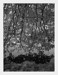 littoral curtain (Andrew C Wallace) Tags: trees bw leaves curtain australia melbourne olympus victoria foliage infrared royalbotanicgardens rbg littoral m43 720nm epm2