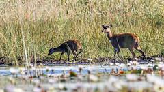Sitatunga (Bob Gunderson) Tags: birds wildlife botswana mammals southernafrica moremigamereserve sitatunga tragelaphusspekei xigera canoneos7dmarkii