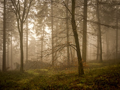 Deep in the Woods (Damian_Ward) Tags: wood morning trees mist misty fog forest lumix chilterns buckinghamshire foggy panasonic bucks beech dmc wendover astonhill m43 thechilterns chilternhills mft wendoverwoods 20mmlens gh3 damianward micro43 microfourthirds hh020 ©damianward