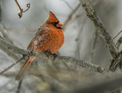 Another Day... (Wes Iversen) Tags: winter detail nature colors birds illinois soft thegrove wildlife cardinals cardinaliscardinalis glenview hcs northerncardinals clichesaturday tamron150600mm