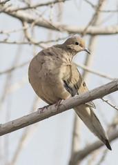 Dove (JME_Photos) Tags: nature birds canon wildlife nevada flight henderson 400mm