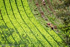 Farming (e L L en) Tags: plant planta working harvest lettuce crop plantation worker agriculture planting trabalhando harvesting trabalhador alface agricultura plantao farmworker colheita agriculturalworker plantando trabalhadorrural colhendo
