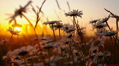 Nature Sunset Rose Wallpapers Hd  1080p lants (wallpapersceneblog) Tags: nature sunsetwallpaper 1080ppicture