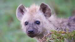 Hyena Cub (Robert Cave) Tags: hyena gallery