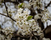 Photo of Bees and Bradford Pear 3