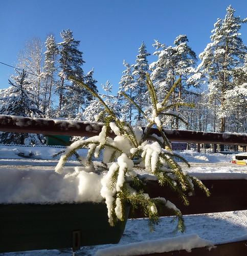 a little fir-tree in a pot