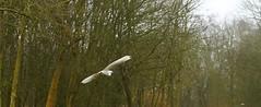 _MG_0884R Egret's Flight Into the Woods, Jon Perry - Enlightenshade, 28-2-15 zaj (Jon Perry - Enlightenshade) Tags: egret 28215 whitebird birdinflight flyingbird jonperry flyingegret enlightenshade arranginglightcom 20150228