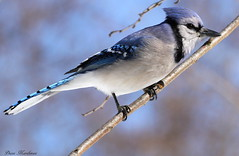 I Got The Blues (Diane Marshman) Tags: blue winter white black bird nature face closeup neck back jay body head pennsylvania wildlife tail gray beak feathers large crest bluejay ring pa underneath collar northeast thick