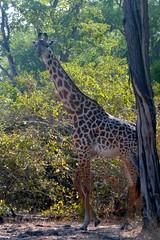 Giraffe Nfesu Sector Luangwa