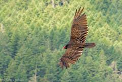 soaring higher (robinnestridge) Tags: from above bird head over vulture soaring gliding soar turkeyvulture tuvu