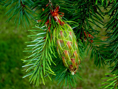 Douglas-fir Cone (Bugldy99) Tags: douglasfir cone nature tree outdoors seeds needles evergreen