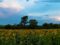 20160723-IMG_0006 (MandoCatDSM) Tags: sunflowers badger creek wildflowers sunrise