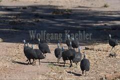 10075539 (wolfgangkaehler) Tags: africa bird african wildlife zambia guineafowl southernafrica 2016 helmetedguineafowl zambian southluangwanationalpark guineafowls helmetedguineafowls