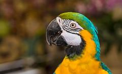 ZON_0137 (Zonnie) Tags: nikon d600 sigma 35 f14 sb700 dof bokeh closeup parrtos birds wildlife animals