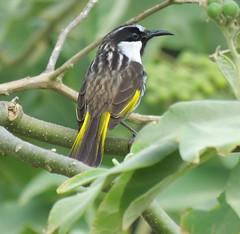 Phylidonyris nigra 8 (barryaceae) Tags: crowdy bay national park head australianbirds birds new south wales australia ausbirds ausbird whitecheeked honeyeater phylidonyris niger