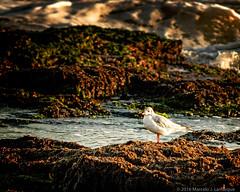 Gaviotas en las piedras (Marcelo J. Lamarque) Tags: muelle birds gaviota animals aves miramar animales buenosaires