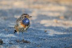 gorgebleue  miroir ( Luscinia svecica ) Erdeven 160724g2 (pap alain) Tags: oiseaux passereaux muscicapids gorgebleuemiroir lusciniasvecica bluethroat erdeven morbihan bretagne france