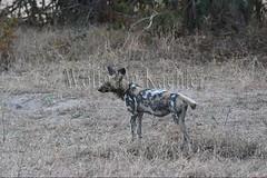 10075524 (wolfgangkaehler) Tags: africa nationalpark african wildlife predator zambia africanwilddog southernafrica predatory 2016 africanhuntingdog zambian southluangwanationalpark africanwilddoglycaonpictus