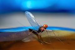 Backyard Baetis II (Brant He. Fageraas) Tags: macro nature colors norway colorful bokeh naturallight flyfishing mayfly shallowdof flyfishingart baetisrhodani