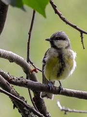 (Paridae) Parus major 1K, Talgoxe / Great tit (holgeric77) Tags: vrmlandsln sweden se paridae parusmajor