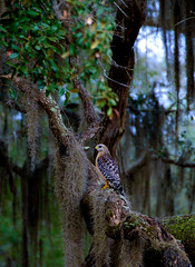 Red shouldered hawk (Emily Kistler) Tags: florida goldhead mikeroess mikeroessgoldheadstatepark nature outdoors wildlife hawk redshoulderedhawk bird birdofprey tree spanishmoss green usa unitedstates america landscape bokeh travel animal
