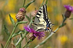 A87A4331 Swallowtail (steve.ray50) Tags: france 2016 labrenne