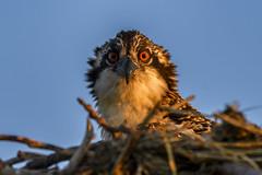 Rise and Shine (ThruKurtsLens.com (Kurt Wecker)) Tags: 2016 kurtwecker nature naturephotographer thrukurtslenscom wildlife wildlifephotographer wildlifephotography