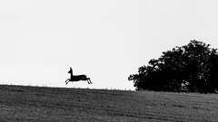 Deer against backlight (doc_black44) Tags: reh deer backlight gegenlicht sw schwarzweiss bw