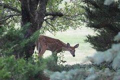 IMG_9253 (thinktank8326) Tags: deer whitetaileddeer fawn doe babyanimal babydeer nature wildlife