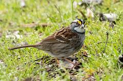 IMG_6562 White-throated Sparrow (ashahmtl) Tags: whitethroatedsparrow sparrow zonotrichiaalbicollis longpointprovincialpark norfolkcounty ontario canada