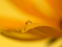 little sun in the bubble (Xtraphoto) Tags: sun blume flower yellow gelb drop bubble tropfen wassertropfen waterdrop