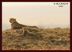 FEMALE CHEETAH WITH HER CUBS (Acinonyx jubatus).....MASAI MARA....SEPT 2015. (M Z Malik) Tags: nikon d800e 400mmf28gedvr kenya africa safari wildlife masaimara kws exoticafricanwildlife exoticafricancats flickrbigcats cheetahfamily cheetah ngc