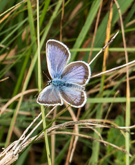 False Eros Blue butterfly (DigPeter) Tags: bulgaria butterfliesblues butterflymoth europe falseerosblue peterphoto dobrostan plovdiv