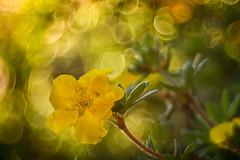 Golden yellow (bresciano.carla) Tags: yellow flower nature pentax trioplan vintage circle bokeh garden manuallens naturalmente