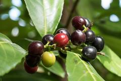 Frchte eines Kirschlorbeers (Prunus laurocerasus, Syn.: Laurocerasus officinalis) - Fruits of a cherry laurel (riesebusch) Tags: berlin garten marzahn