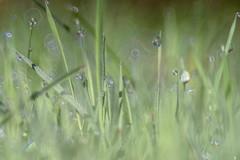 Twinkle Twinkle (*Capture the Moment*) Tags: 2016 backlight bokeh droplets drops farbdominanz gegenlicht gras grass sonynex7 sun trioplan28100neo tropfen green grn