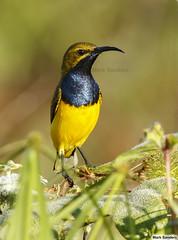 Olive-backed Sunbird (Cinnyris jugularis) (Origma) Tags: olivebackedsunbird cinnyrisjugularis yellowbelliedsunbird
